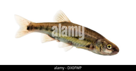 Side view of an Eurasian minnow, Phoxinus phoxinus, against white background - Stock Photo