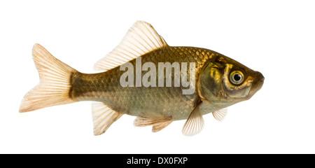 Crucian carp swimming, Carassius carassius, against white background - Stock Photo