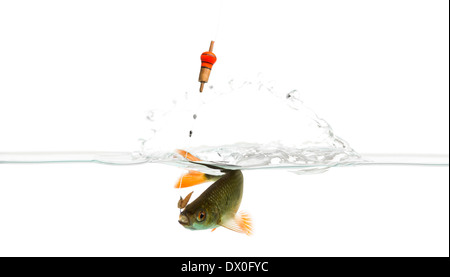Common roach under water caught on a hook, Rutilus rutilus, against white background - Stock Photo