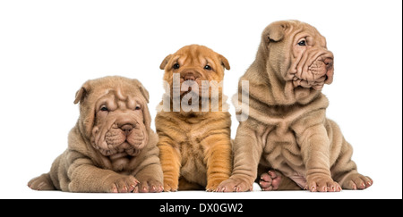 Front view of Shar Pei puppies sitting in a row against white background - Stock Photo