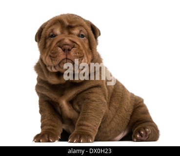 Shar Pei puppy sitting, looking at the camera against white background - Stock Photo