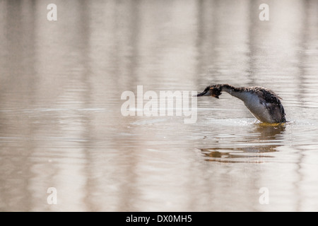 The Great Crested Grebe is a water bird, and in Europe, the largest member of the Podicipedididae - Stock Photo