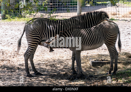 Grévy's zebras (Equus grevyi), dam and colt, also known as the imperial zebra, is the largest extant wild equid - Stock Photo
