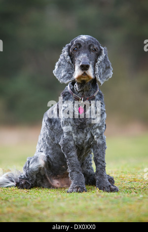 An old Cocker Spaniel dog sitting outside on grass in the countryside - Stock Photo