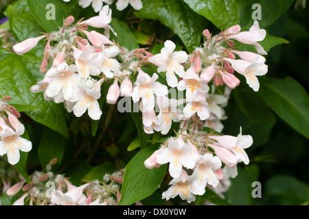 Flowers of the beauty bush, Kolkwitzia amabilis, in a Devon garden - Stock Photo