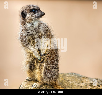 Member of the mongoose family, the meerkat or suricate, Suricata suricatta, is a small mammal found in many parts - Stock Photo
