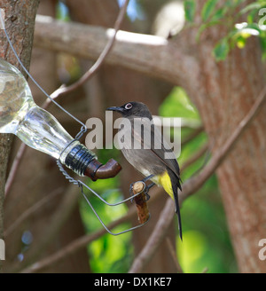 A Cape Bulbul (Pycnonotus capensis) perched on a nectar feeder in a garden. - Stock Photo
