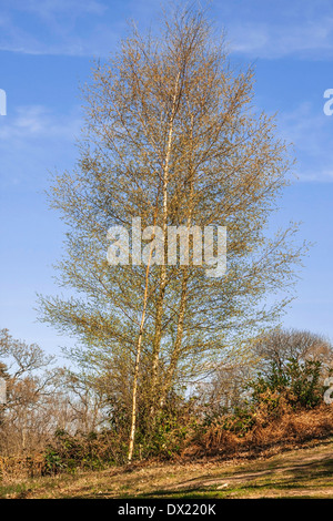 Tall bent tree in forest - Stock Photo