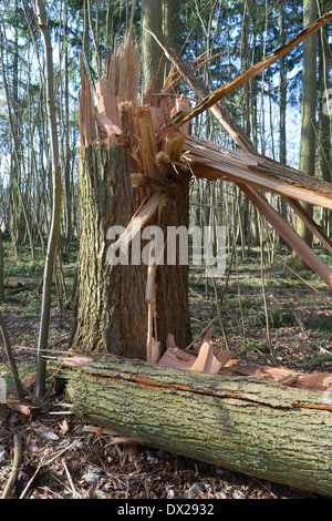 Mature scots pine (Pinus sylvestris) snapped in half by high winds during one of the storms to hit the UK in February - Stock Photo
