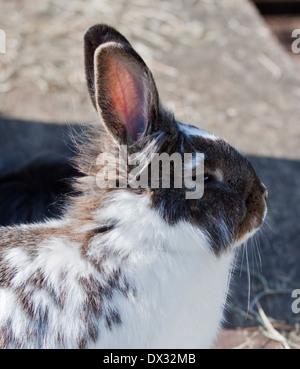 English Spot x Lionhead Cross Rabbit