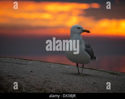european herring gull (larus argentatus) in sunset, utklippan, blekinge, sweden - Stock Photo
