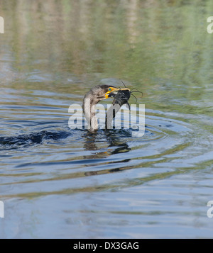 Double-crested Cormorant (Phalacrocorax carbo) With Catfish - Stock Photo