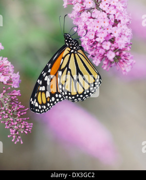 Monarch Butterfly On The Purple Flowers - Stock Photo