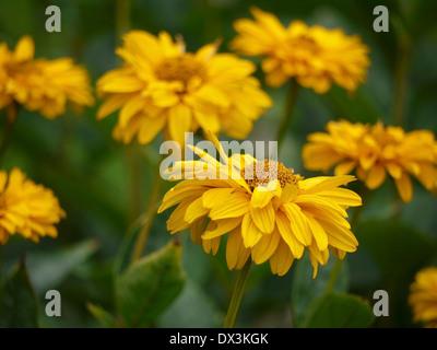 oxeye, heliopsis - Stock Photo