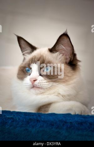 Young Ragdoll cat alert indoors - Stock Photo