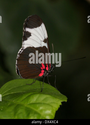 Sapho Longwing (Heliconius sapho) with wings closed - Stock Photo