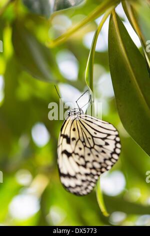Large Tree Nymph or Paper Kite (Idea leuconoe), captive, butterfly house, botanical garden, Munich, Upper Bavaria, - Stock Photo