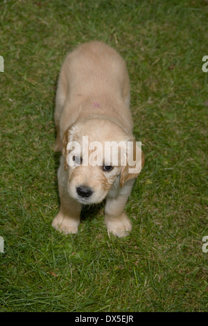 Nutmeg, Yorkbeach Bay Patrol, a six week old female golden retriever puppy stands on grass looking up - Stock Photo