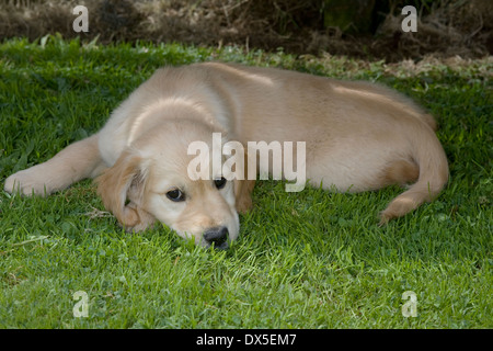 Nutmeg, Yorkbeach Bay Patrol, 9 week old female golden retriever puppy lies in shaded area on grass on warm summer's - Stock Photo