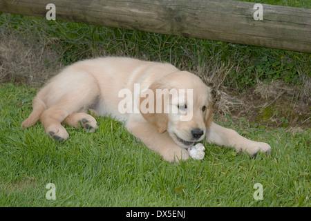 Nutmeg, Yorkbeach Bay Patrol, 9 week old female golden retriever puppy investigates shell on grass on warm summer's - Stock Photo