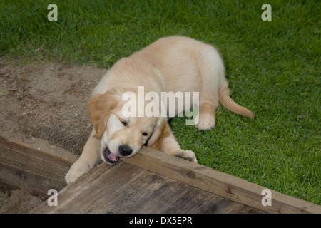 Nutmeg, Yorkbeach Bay Patrol, 9 week old female golden retriever puppy chews wooden sandpit cover on warm summer's - Stock Photo