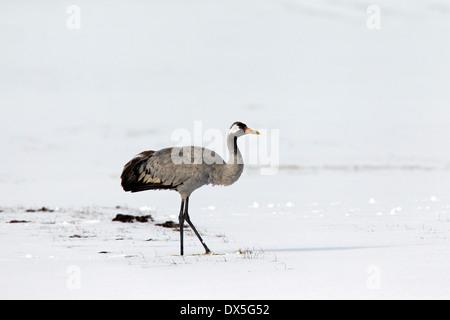 Common crane / Eurasian crane (Grus grus) in the snow in early spring - Stock Photo