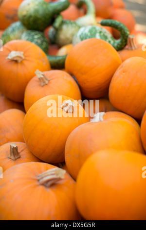 Vibrant orange pumpkins, abundance, close up - Stock Photo