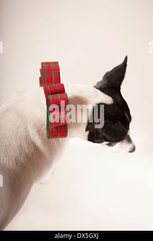 Black and white dog with Christmas bow collar on white background, directly above - Stock Photo