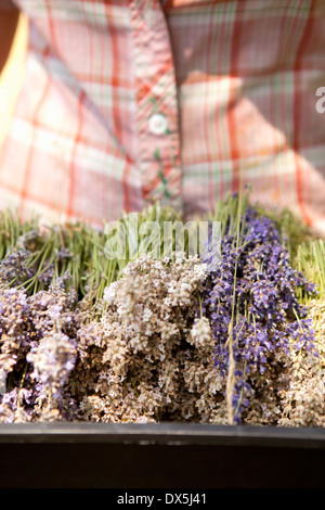 Woman holding harvested dried lavender in tray, close up - Stock Photo