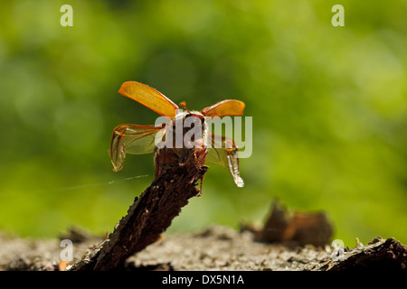 Common Cockchafer (Melolontha melolontha), - Stock Photo