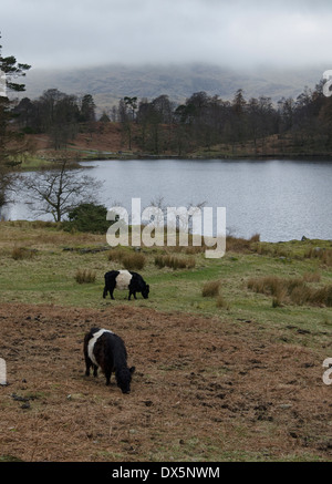 Two Belted Galloway cows on the shores of Tarn Hows in the English Lake District on a cold misty Winter day. - Stock Photo