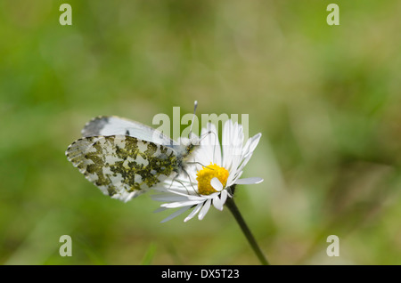 Female Orange Tip butterfly on a Daisy flower in a Cumbrian Meadow - Stock Photo