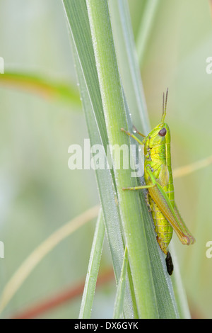 Small gold grasshoppper in close-up. - Stock Photo