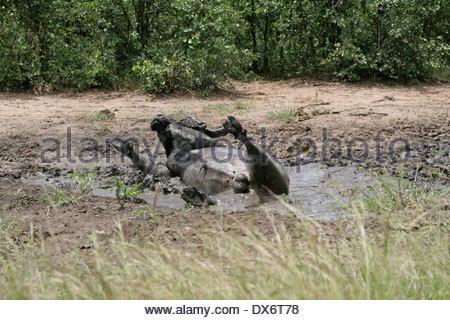 Cape Buffalo wallowing in mud pool Africa - Stock Photo