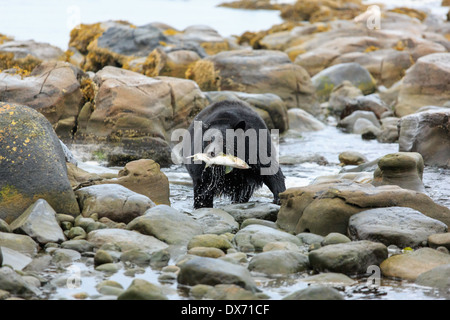 A black bear with a fish in it's mouth. - Stock Photo