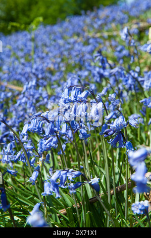 Bluebells (Hycinthoides non-scripta) in full bloom covering banking side in spring - Stock Photo
