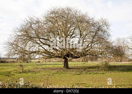 Horse chestnut tree, Aesculus hippocastanum, in winter growing in field, Sutton, Suffolk, England - Stock Photo
