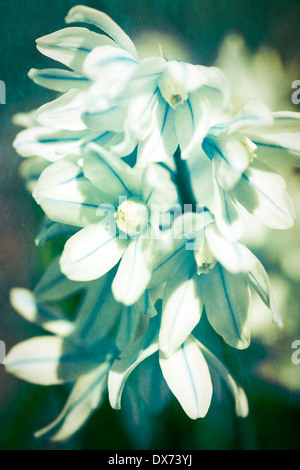 Striped Squill (Puschkinia scilloides var. libanotica) with a vintage blue texture. An early flowering perennial - Stock Photo