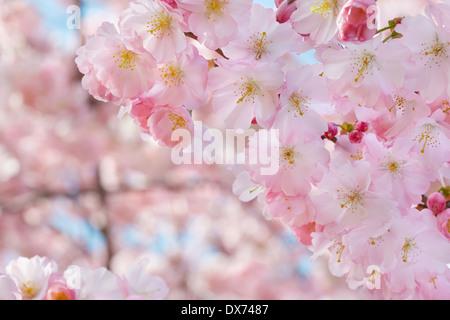 Border of beautiful cherry blossom flowers on white background stock white spring tree blossom spring flowers border on background with pink blossom stock photo mightylinksfo