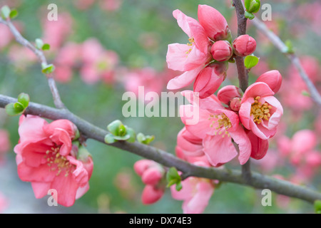 Spring flowers on twigs, pink blossom and buds - Stock Photo