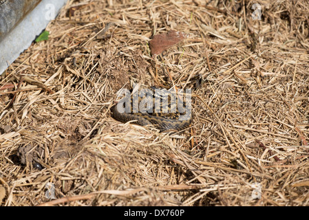 Adder (Vipera berus), sometimes also called common or northern viper - Stock Photo