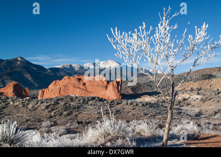 Small tree covered with hoarfrost and moon, overlooking North Gateway Rock in Garden of the Gods park, with Pikes - Stock Photo