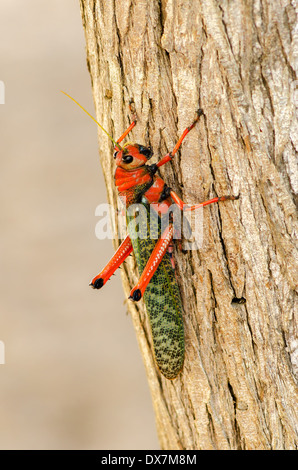 Large red and green grasshopper closeup in La Guajira, Colombia - Stock Photo