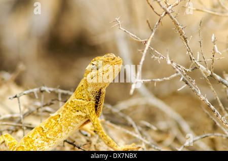 Closeup view of a small yellow lizard in La Guajira, Colombia - Stock Photo