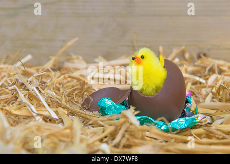 A fluffy yellow Easter chick breaking out from a chocolate egg in a barn. - Stock Photo