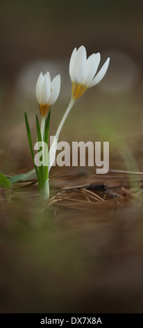 blooming white flower of Aleppo Crocus (Crocus aleppicus). Photographed in Israel in December - Stock Photo