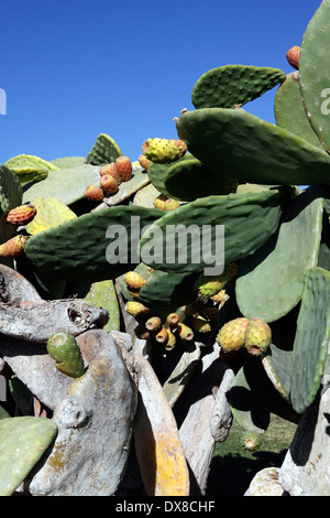 OPUNTIA ROBUSTA. PRICKLY PEAR CACTUS. - Stock Photo