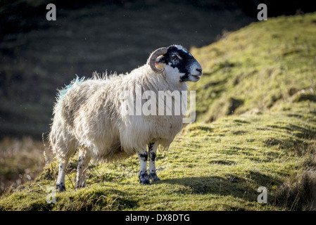 The Scottish Blackface is the most common breed of domestic sheep in the United Kingdom. This tough and adaptable - Stock Photo
