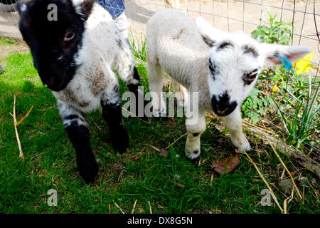 London, UK. 20th March 2014. 12 day old spring lambs that are being hand reared at Vauxhall City Farm. Credit:  - Stock Photo