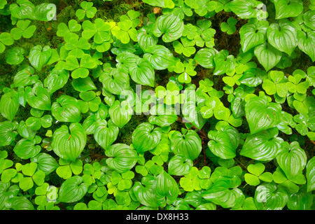 Oxalis and wild lily of the valley along Horse Creek Trail, Drift Creek Wilderness, Siuslaw National Forest, Oregon - Stock Photo